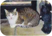 Domestic Shorthair Cat for adoption in Fayette, Missouri - Sir Gawain
