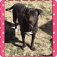 Labrador Retriever Mix Dog for adoption in Midland, Texas - Luna
