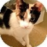 Adopt A Pet :: Mitts-E - Vancouver, BC