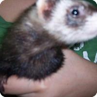 Adopt A Pet :: Babbett - Balch Springs, TX