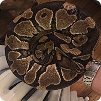 Adopt A Pet :: Ball python - Bristow, VA