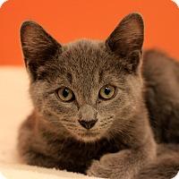 Domestic Shorthair Kitten for adoption in Flushing, Michigan - Grady