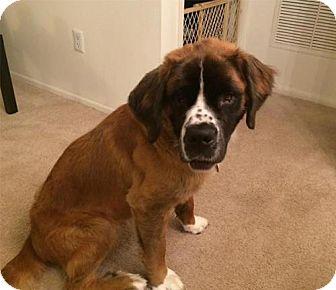 St. Bernard Dog for adoption in Matawan, New Jersey - Belle
