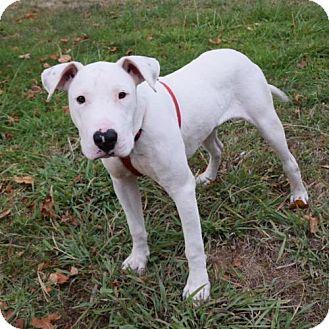 Bull Terrier Mix Dog for adoption in Sacramento, California - Franklin Delano Roosevelt