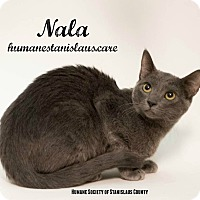 Domestic Shorthair Kitten for adoption in Modesto, California - Nala