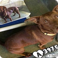 Adopt A Pet :: A397580 - San Antonio, TX