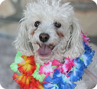 Poodle (Miniature) Dog for adoption in Canoga Park, California - Jeffrey