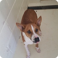Blue Heeler Mix Dog for adoption in Bowie, Texas - Vic