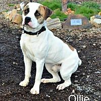 Adopt A Pet :: Ollie - Yreka, CA