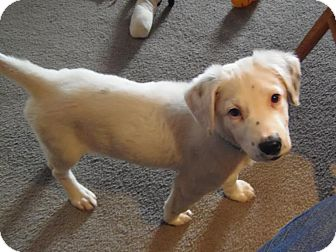 Collie Mix Puppy for adoption in DeForest, Wisconsin - Lucas