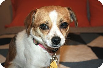 Beagle/Chihuahua Mix Dog for adoption in Los Angeles, California - Poppy - I'm a Cheagle!