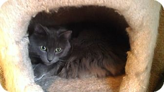 Domestic Mediumhair Cat for adoption in Little Falls, New Jersey - Earl (MP)