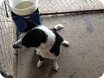 Border Collie Mix Dog for adoption in Gustine, California - BATMAN