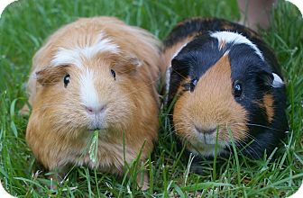 Guinea Pig for adoption in Brooklyn Park, Minnesota - Cuddles & Reese