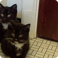Adopt A Pet :: Skyy - St. Louis, MO