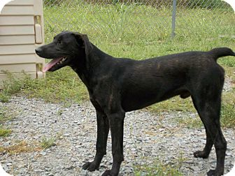 Labrador Retriever Mix Dog for adoption in Lewisville, Indiana - Sam