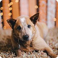 Adopt A Pet :: Pickles - Portland, OR