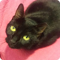 Adopt A Pet :: SHADOW - Ridgewood, NY