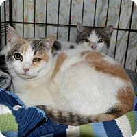 Calico Cat for adoption in Queens, New York - Mork and Mindy