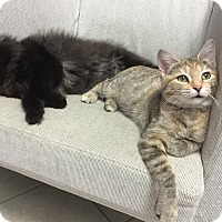 Adopt A Pet :: Sprinkles - Orland Park, IL