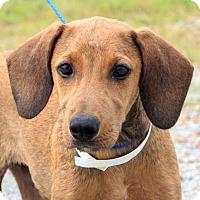 Adopt A Pet :: Leo~meet me! - Glastonbury, CT