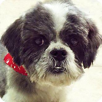 Shih Tzu Dog for adoption in Newington, Virginia - Ling
