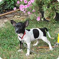 Adopt A Pet :: TOOTSIE - Hartford, CT