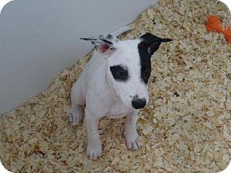 Terrier (Unknown Type, Medium) Mix Puppy for adoption in Cherry Hill, New Jersey - Sussie