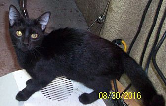 Domestic Shorthair Kitten for adoption in Morriston, Florida - TIARA