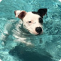 Adopt A Pet :: Mia**Courtesy List** - Sarasota, FL