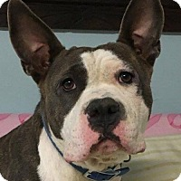 Pit Bull Terrier Dog for adoption in Kansas City, Missouri - Jennet