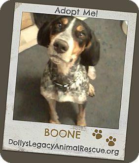 Bluetick Coonhound Dog for adoption in Lincoln, Nebraska - BOONE
