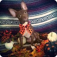 Adopt A Pet :: Bitsy - sylmar, CA