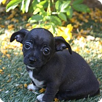 Adopt A Pet :: Raven - Henderson, NV