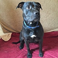Pit Bull Terrier Mix Dog for adoption in Centerburg, Ohio - Henry