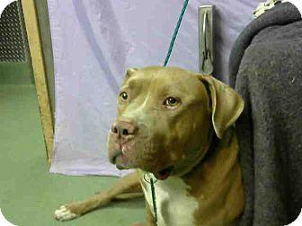 Pit Bull Terrier Mix Dog for adoption in San Bernardino, California - URGENT on 11/14 @DEVORE