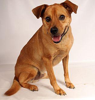 Terrier (Unknown Type, Medium) Mix Dog for adoption in St. Louis, Missouri - Chance (Marley) Terrier