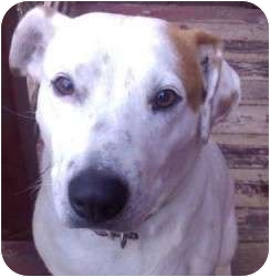 Australian Cattle Dog/Pit Bull Terrier Mix Dog for adoption in Phoenix, Arizona - Lily