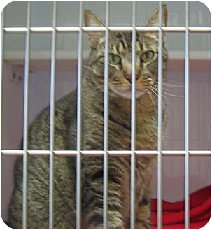 Domestic Shorthair Cat for adoption in Deerfield Beach, Florida - Marley