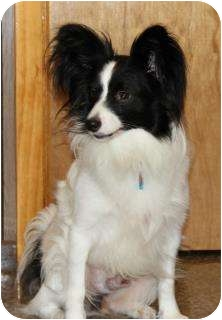 Papillon Dog for adoption in Richmond, Virginia - Shiner