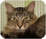 Domestic Shorthair Cat for adoption in El Cajon, California - Oyster