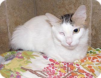 Turkish Van Cat for adoption in Houston, Texas - Sage