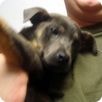 German Shepherd Dog/Doberman Pinscher Mix Puppy for adoption in baltimore, Maryland - Pressley