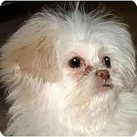 Adopt A Pet :: Bianca-NY - Mays Landing, NJ