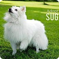 Adopt A Pet :: Sugar - Elmhurst, IL