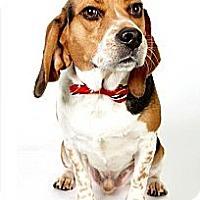 Adopt A Pet :: Kobe - New York, NY