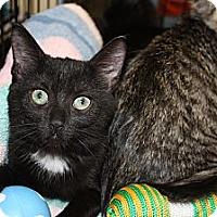 Adopt A Pet :: Kittens - Tuxedo - Vero Beach, FL