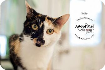 Calico Cat for adoption in Lakewood, Colorado - Edie