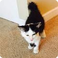 Domestic Shorthair Cat for adoption in Chicago, Illinois - Itchy