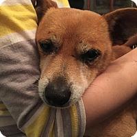 Adopt A Pet :: Dobby - Studio City, CA